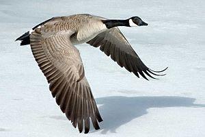 300px-Canada-Goose-Szmurlo