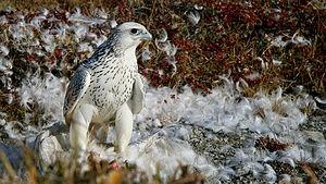300px-Falco-rusticolus
